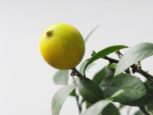 indoor fruit tree close up of lemon on the branch