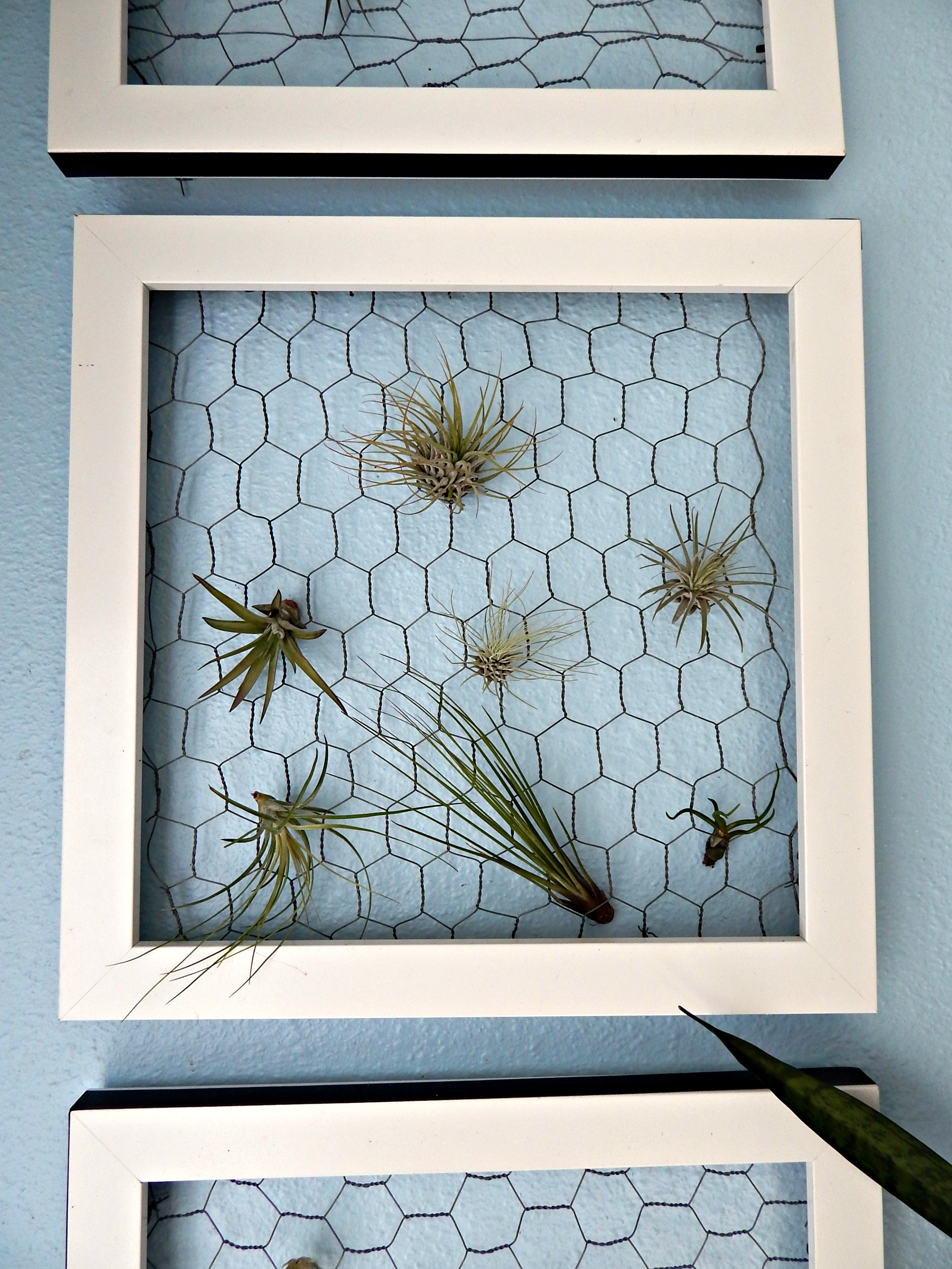 Air Plant Frames - Crafty Little Gnome