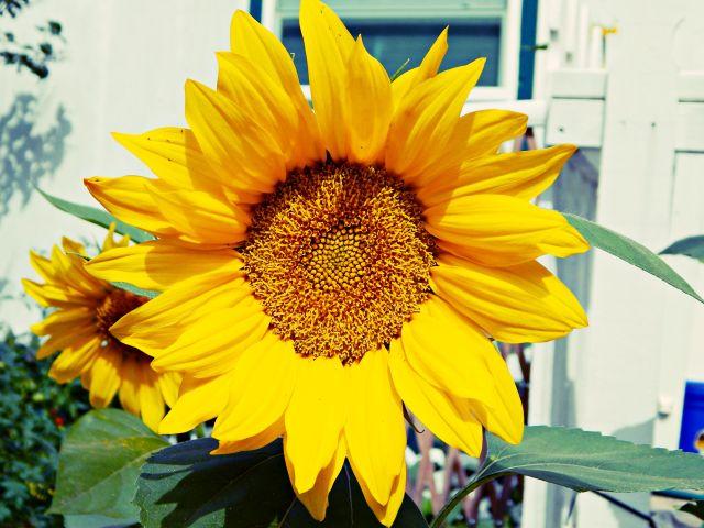 sunflower5